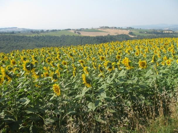 Umbrian sunflowers.