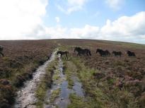 Wild Exmoor ponies